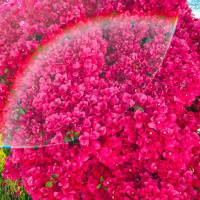 Bougainvillea and Rainbow