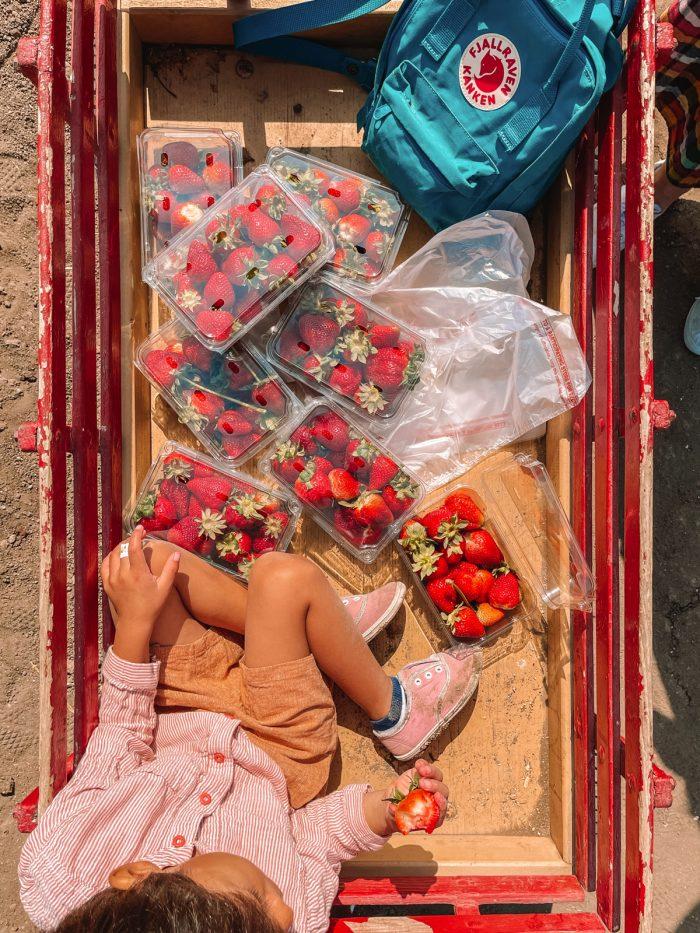 California Strawberry Picking
